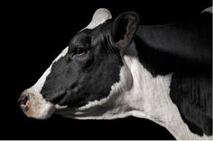 A super photo of a beautiful Holstein cow.
