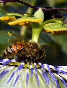 BBC - Researchers say they have unlocked the genetic secrets of honey bees' high sensitivity to environmental change.