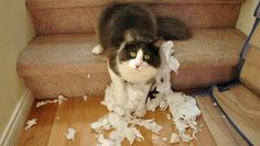 cat caught destroying toilet paper