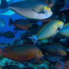 Is anyone else super into that #trevally #photobombing the school of #yellow mask  surgeonfish?