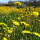 Het hebben van een te hoge concentratie aan urinezuur in het lichaam kan reumatische aandoeningen veroorzaken. De goede werking van de paardenbloem wo...