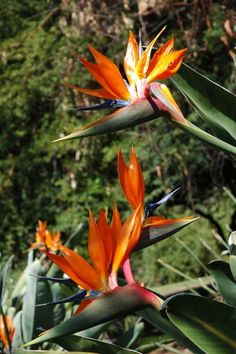 Bird of Paradise: Strelitzia reginae is a monocotyledonous flowering plant indigenous to South Africa. Planting Succulents, Planting Flowers, Garden Plants, Beautiful Birds, Beautiful Gardens, South African Flowers, Paradise Flowers, Paradise Plant, Flower Stands