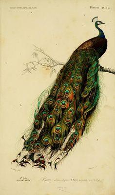"Flickr: Intercambio de fotos. ""Paon domestique"" gorgeous peacock print"