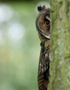 60 Cute Owl Pictures – Some Interesting Pictures For You To Enjoy - Tail and Fur Beautiful Owl, Animals Beautiful, Cute Animals, Owl Bird, Pet Birds, Long Eared Owl, Owl Pictures, Funny Pictures, Owl Always Love You