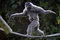 A silvery female gibbon named Pangrango balances with her 4-week-old baby on ropes in their compound at the Hellabrunn Zoo in Munich, southern Germany.