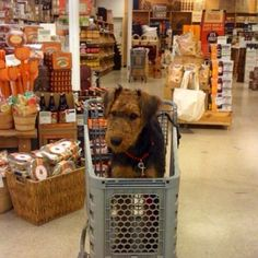 Airedale Terrier Puppy, how adorable is this. But why did the workers at world market let a big dog like that in? Welsh Terrier, Airedale Terrier, Fox Terrier, Doggies, Dogs And Puppies, Dog Lady, Large Dog Breeds, Funny Dog Pictures, Working Dogs