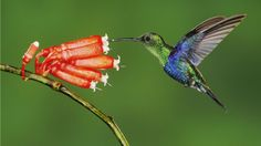 Animal Hummingbird   Wallpaper