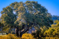 Oak Tree by enorte  August Austin Oak tree blue green heat landscape nature sky summer sun tree yellow Oak Tree enorte
