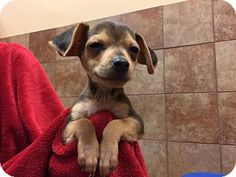 Pictures of Ono a Beagle/Chihuahua Mix for adoption in Long Beach, CA who needs a loving home.