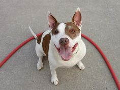 GONE - 7/25/14  Brooklyn Center   My name is BUDDY LEE. My Animal ID # is A1007548.  I am a neutered male white and br brindle pit bull mix. The shelter thinks I am about 7 YEARS old.   I came in the shelter as a OWNER SUR on 07/21/2014 from NY 11417, owner surrender reason stated was NEW BABY.   https://www.facebook.com/Urgentdeathrowdogs/photos/a.843223482357199.1073743230.152876678058553/843223642357183/?type=3&theater