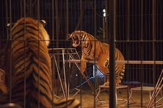 Google Image Result for http://www.examiner.com/images/blog/EXID39937/images/Circus_tigers(1).jpg