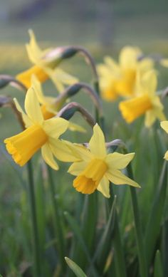 Daffodils are my very favorite flower in the whole world....they take me back to Pine Bluff, Ark and grandmother's front yard.