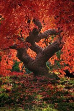 arbre au feuillage rouge