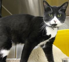 ADOPTED>Intake: 2/23  Available: Now  NAME: Marsaleen  ANIMAL ID: 25028299  BREED: DSH  SEX: Female  EST. AGE: 2 yrs  Est Weight: 7.0 lbs  Health:  Temperament: Friendly  ADDITIONAL INFO: O/S  RESCUE PULL FEE: $39