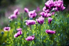 Poppies at Heronswood