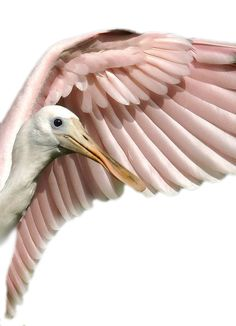 spectacular picture of one of my favorite birds -- the roseate spoonbill Pretty Birds, Beautiful Birds, Animals Beautiful, Animals Amazing, Pretty Animals, Beautiful Pictures, All Birds, Love Birds, Mundo Animal