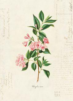 """Vintage Botanical Flower """"Weigelia Rosea"""" on French Ephemera Print 8x10 P32"""