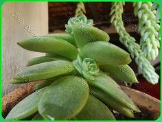 Planta Suculenta em Reprodução