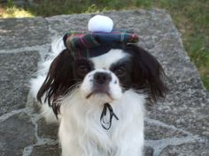 Scottish Tam Small Dog Hat by Doginafez on Etsy
