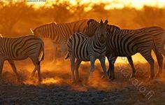 Seeprat - seepra savanniseepra nisäkäs afrikkalainen villieläin eläin lauma vierekkäin lähekkäin Equus quagga Namibia Etosha kansallispuisto Afrikka kasvissyöjä ilta auringonlasku hämärä savanni juova juovat juovikas raita raidat raidallinen vastavalo tomu pöly