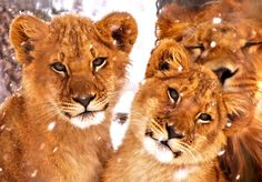 'Lion Trine' by Houndofthenight -- 5 mo. old cubs with older brother on a snowy day at Utica Zoo