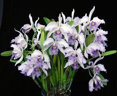 https://flic.kr/p/9YEWZi   Lc. Canhamiana var coerulea '6686'   35 flowers this year.
