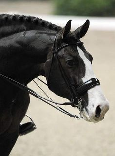 """Björsells Briar (I've seen this circulate with the caption """"black warmblood horse"""" which is incorrect)"""