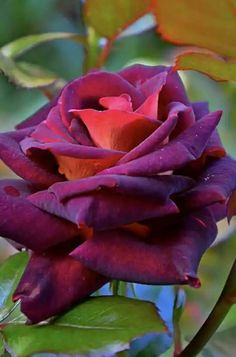 Beautiful Flowers Pictures, Beautiful Rose Flowers, Pretty Roses, Love Rose, Flower Pictures, Exotic Flowers, Amazing Flowers, Pretty Flowers, Purple Flowers