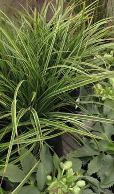Ornamental Grasses & Bamboo home > plants > grasses-bamboo > Grasses & Bamboo Grasses are a great choice to add structure, color and movement to the garden. Work them into any garden style as focal points or accents and you'll be delighted with their graceful ease.