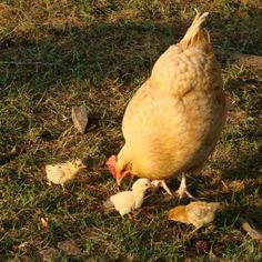 Buff Orpington Chickens Coming to our place soon!!
