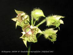 Dendrobium macrophyllum - Flickr - Photo Sharing!
