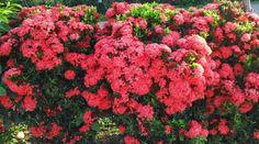 10 Ide Bunga Asoka Bunga Gambar Menanam Bunga