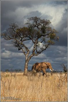 Nobby Photography Be Inspired By: Elephants Wildlife Photography, Animal Photography, Nature Pictures, Cool Pictures, African Forest Elephant, Africa Painting, Wild Eyes, Out Of Africa, Photo Tree