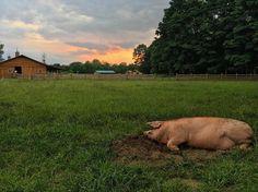 Stanley and a Woodstock sunset. #someonenotsomething #whywoodstock #veganfortheanimals #stantheman