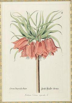 a blushing botanical...c. 1780 orig. print by; George Wolfgang Knorr {German1705-1761}