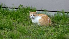 茶トラ白模様の猫(1110)猫写真-横浜 #猫写真
