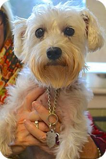 Chattanooga, TN - Maltese/Yorkie, Yorkshire Terrier Mix. Meet Bailee a Dog for Adoption.