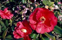 Camellia 'Royalty'.  'Royalty' is a small but lax evergreen shrub with glossy dark green leaves and very large, light red, semi-double flowers in mid or late spring. Situated at the far-right of the kitchen window border.