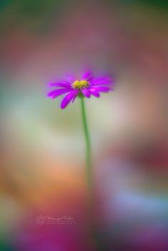 Daisy Rainbow - null