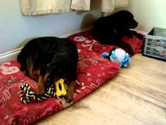 Xmas Morning At The Rotty Ranch House - Rottwieler Daddy Amazon & Baby Lea Playing