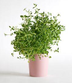 Timjamin kasvatus Vegetable Garden, Herbs, Vegetables, Flowers, Gardening, Eggs, Vegetables Garden, Lawn And Garden, Herb