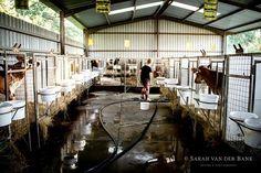 Visiting the new calves on Fairfield Farm #fairfielddairy #fairfieldfarm #karkloof #natalmidlands #photography #photographer #canon #canonsa #canonsouthafrica #loves_southamerica #instagramsa #instagram_sa #canonphotography
