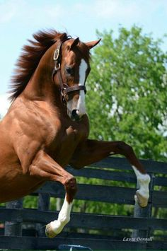 California Chrome, Laura Donnell photo credit