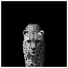 55 Captures of Wild Animals From Endangered Animal Photography to... ❤ liked on Polyvore featuring fotos, photos and pictures