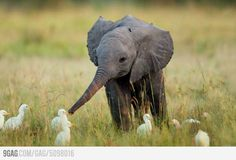 Baby elephant playing with the ducks.