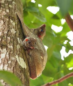 Image result for camouflage flying lemurs
