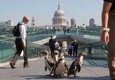 Mr Popper's Penguins stroll around London...