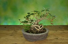 How to Plant a Bonsai Tree From Seed