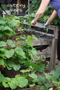 LOVE the way she has the raised beds high up and in bins, so not a lot of stooping or much beinding over - goodness knows my back will be happy about that...gonna do my raised gardens like this next spring!!  081813-sweet-potato-harvest-raised-urban-gardens-dot-com-pic-2