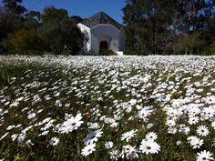 A sunny spring day in front of Camphill chapel with a field of white daisies.